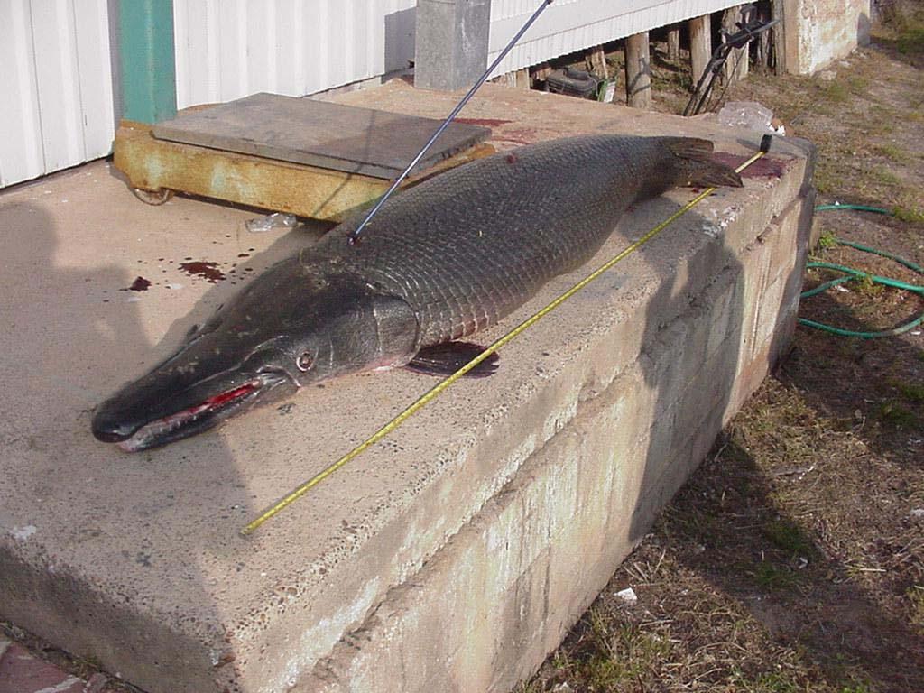 Texas record gar caught for Gar fish texas